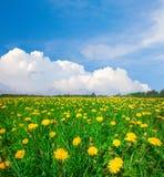 Gelbes Blumenfeld unter blauem bewölktem Himmel lizenzfreies stockfoto