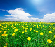 Gelbes Blumenfeld unter blauem bewölktem Himmel lizenzfreie stockfotografie
