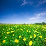 Gelbes Blumenfeld unter blauem bewölktem Himmel Stockbilder