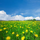 Gelbes Blumenfeld unter blauem bewölktem Himmel Stockfotos