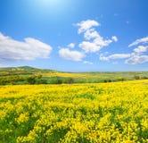 Gelbes Blumenfeld unter blauem Himmel lizenzfreie stockfotos