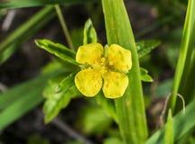 Gelbes Blumenmakro Stockbild