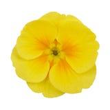 Gelbes Blumenveilchen der Primel Stockfotos