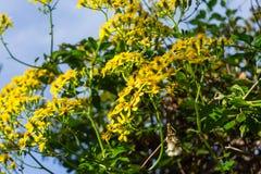 Gelbes Blumenwachsen auf einem Busch stockfoto