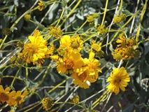 Gelbes Brittlebush auf Tonto-Abhang stockfoto