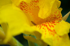 Gelbes Canna Stockbild