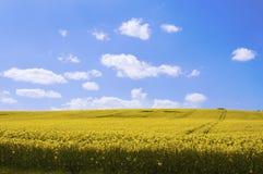 Gelbes Canolafeld in der Sonne mit blauem Himmel und Wolken Stockbilder