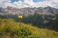 Gelbes coltsfood mit Bergen auf dem Hintergrund Stockfotografie