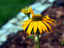 Gelbes Coneflower - Echinacea Lizenzfreies Stockfoto