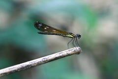 Gelbes Damselfy/Dragon Fly /Zygoptera, das im Rand des Bambusstammes mit grünem bokeh Hintergrund sitzt Lizenzfreie Stockfotos