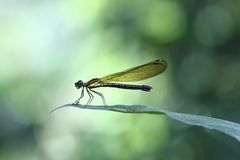 Gelbes Damselfy/Dragon Fly /Zygoptera, das im Rand des Bambusstammes mit schönem bokeh sitzt Lizenzfreies Stockfoto