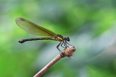 Gelbes Damselfy/Dragon Fly /Zygoptera, das im Rand des Bambusstammes mit schönem bokeh sitzt Lizenzfreie Stockfotografie