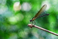 Gelbes Damselfy/Dragon Fly /Zygoptera, das im Rand des Bambusstammes mit schönem Meyer-bokeh sitzt Lizenzfreies Stockbild