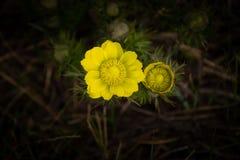 Gelbes Fasan ` s Auge oder Adonis-vernalis ist eine reizende wilde Blume Lizenzfreie Stockbilder