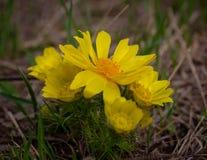 Gelbes Fasan ` s Auge oder Adonis-vernalis ist eine reizende wilde Blume Lizenzfreies Stockfoto