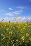 Gelbes Feld stockbilder