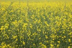 Gelbes Feld Stockfoto