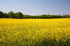 Gelbes Feld stockfotos