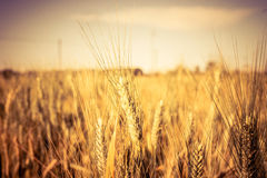 Gelbes Feld des Weizens - Juli, Bologna, Italien Stockfoto