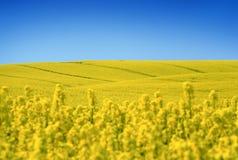 Gelbes Feld mit Ölsaatraps im frühen Frühling Lizenzfreie Stockfotos