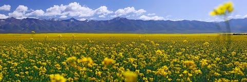 Gelbes Feld mit Ölsaatraps am Sommer Lizenzfreies Stockfoto