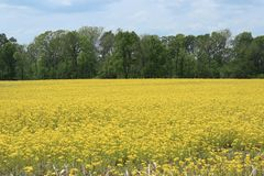 Gelbes Feld mit Bäumen im Hintergrund lizenzfreie stockbilder