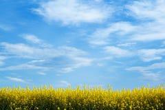Gelbes Feld mit blauem Himmel Stockbilder