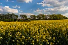 Gelbes Feld mit blauem Himmel mit Wolken lizenzfreie stockfotos
