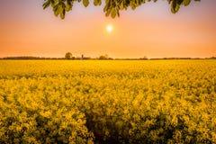 Gelbes Feld mit Dämmerungssonne im Hintergrund bei einem goldenen Sonnenuntergang Lizenzfreies Stockfoto