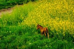 Gelbes Feld mit Pferd stockbild