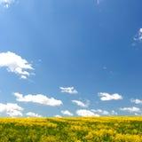 Gelbes Feld und blauer Himmel. Frühling. Stockbild