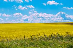 Gelbes Feld und blauer Himmel am Sommertag lizenzfreies stockbild