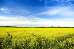 Gelbes Feld unter blauem Himmel Stockbild