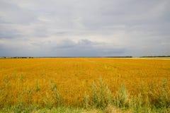 Gelbes Feld unter blauem Himmel Stockfoto