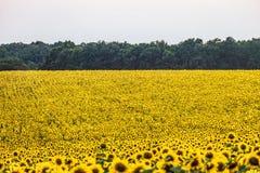 Gelbes Feld von Sonnenblumen am Abend Stockbilder