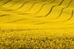 Gelbes Frühlingsrapssamenfeld Stockbild