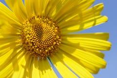 Gelbes Gänseblümchen Lizenzfreie Stockfotos