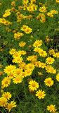 Gelbes Gänseblümchen Lizenzfreie Stockbilder