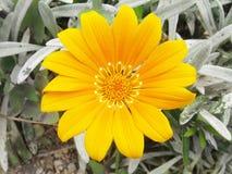 Gelbes Gänseblümchen Stockfotografie
