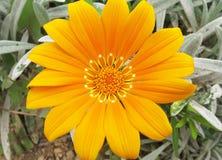 Gelbes Gänseblümchen Stockbild