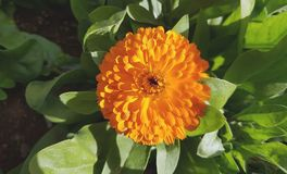 Gelbes Gänseblümchen Lizenzfreie Stockfotografie