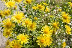 Gelbes Gänseblümchen doronikum Stockfotos