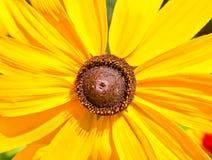 Gelbes Gänseblümchen im Sommergarten Stockbild
