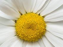 Gelbes Gänseblümchen mit den weißen Blumenblättern schließen oben lizenzfreies stockbild