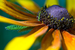 Gelbes Gänseblümchen (Rudbeckia hirta) Lizenzfreies Stockfoto
