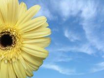 Gelbes Gänseblümchen u. blauer Himmel Stockfoto
