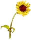 Gelbes Gänseblümchenaquarell Lizenzfreie Abbildung