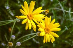 Gelbes Gänseblümchenblühen des Gerbera zwei lizenzfreie stockbilder