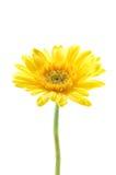 Gelbes gerber Gänseblümchen lizenzfreie stockfotografie