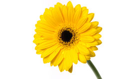 Gelbes Gerber Gänseblümchen auf Weiß Stockfotografie